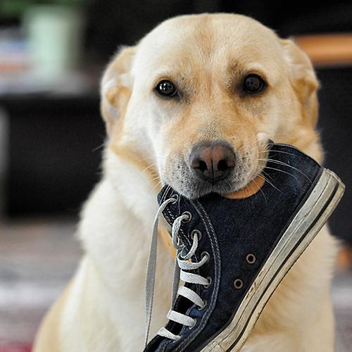 Labrador mit Schuh